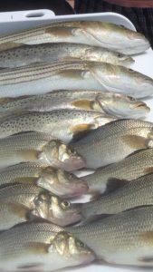 IMG_4011 Striped Bass Fishing In The Chesapeake